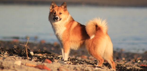De IJslandse Hond